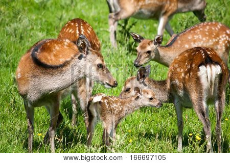 A family of spotted deer in a green meadow on a sunny day.