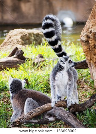 Two ring-tailed lemurs playing in a natural setting.