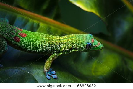 A common gold dust day gecko with its bright green color and red and blue spots is a common sight in tropical climates.