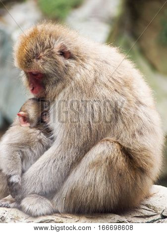 A mother and child snow monkey or Japanese macaque snuggling together.
