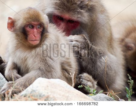 Japanese macaques also known as snow monkeys grooming eachother.