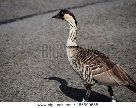 The nene goose is the state bird of Hawaii and currently in a vulnurable state.