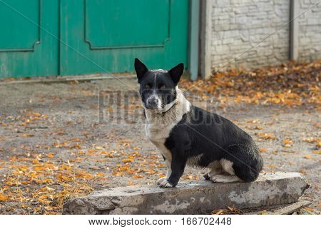 Cute black stocky mixed breed dog sitting near master's gate and ready to defend its territory