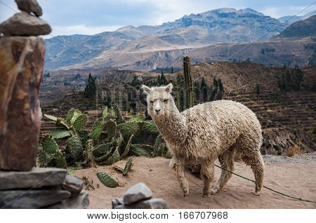 Lama (Alpaca) in Andes Mountains Peru South America.