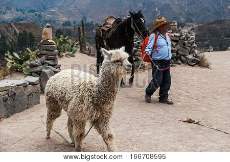 Colca Canyon, Peru-October 5, 2016: Lamas (Alpaca) in Andes Mountains Peru South America.