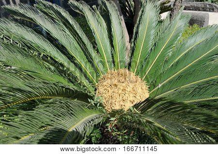 cycas tropical tree with pinnate leaves in Israel