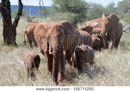 Elephant herd walks through the savanna of Tsavo West Park in Kenya