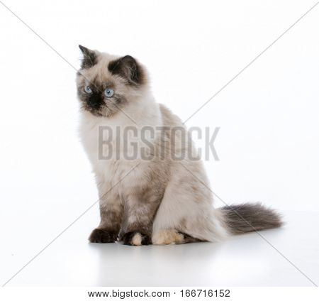 young ragdoll cat