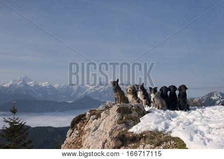 Group of dogs sitting on top of the mountains. On the photography it is nice blue sky where you can write quote.
