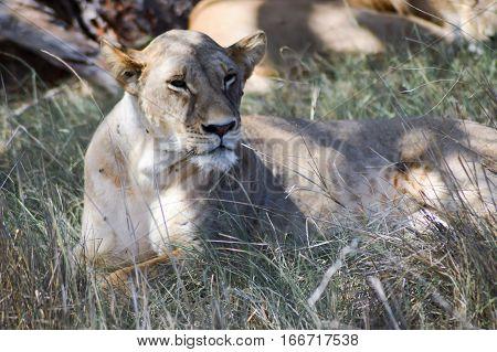 A lioness lying under a tree in West Tsavo Park in Kenya