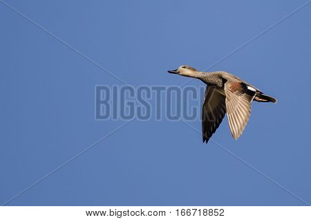 Gadwall Flying in a Clear Blue Sky