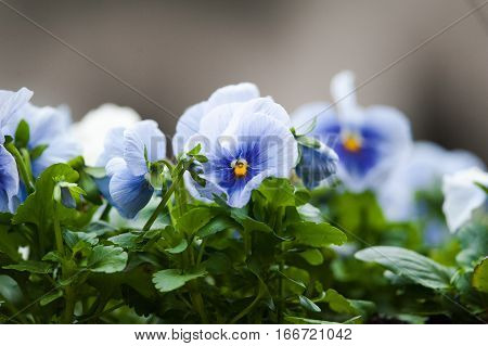 pansies close up in a summer time
