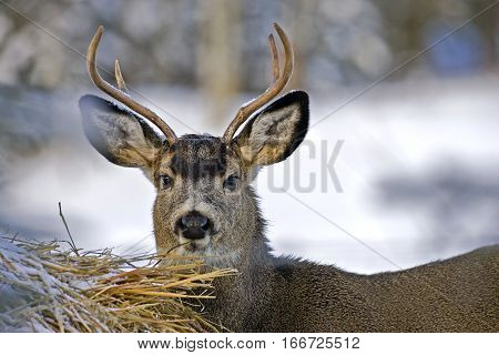 Mule Deer Buck feeding from Hay Bale in winter