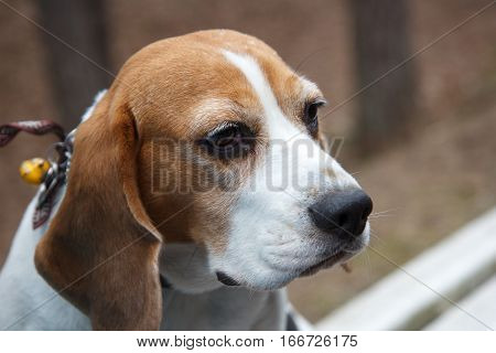 A portrait of a brown and white dog