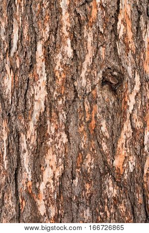 Texture of pine bark .Bark of Pine Tree.