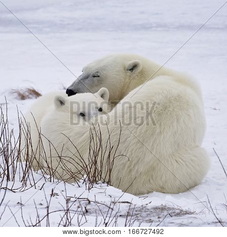 Square, close up image of a polar bear sow with her cub, under a watchful eye.  Churchill, Manitoba, Canada.