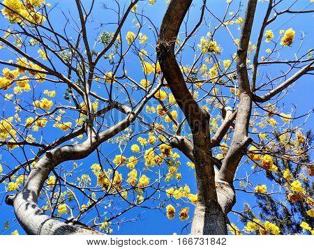 Árbol con flores amarillas y cielo azul
