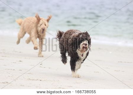 Two dogs playing a game of chase on the beach with a ball.