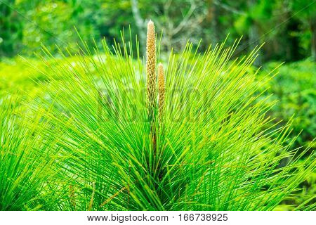 Flower of pine trees on the mountaintop Kradueng province.