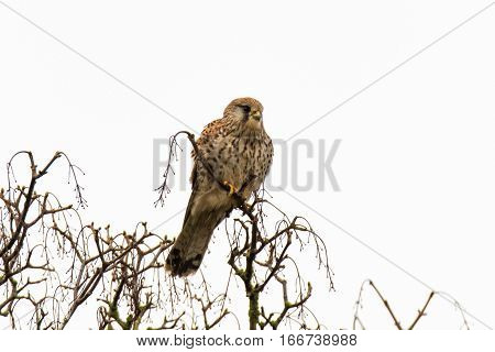 Female kestrel (Falco tinnunculus) sitting in tree. Small falcon (family Falconidae) perched in tree scanning for small mammal prey