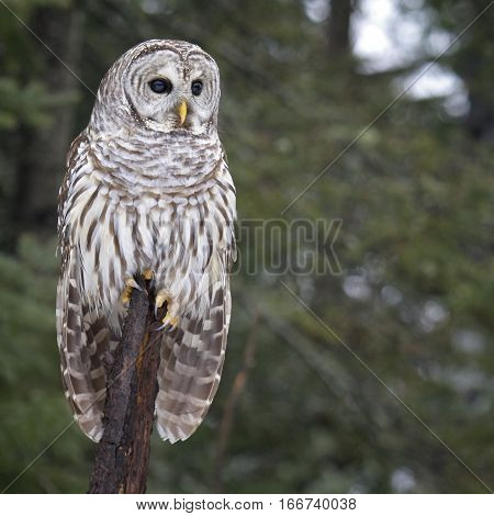 Square, close up image of a Barred Owl, perched on a tree branch.  Winter in northern Wisconsin.