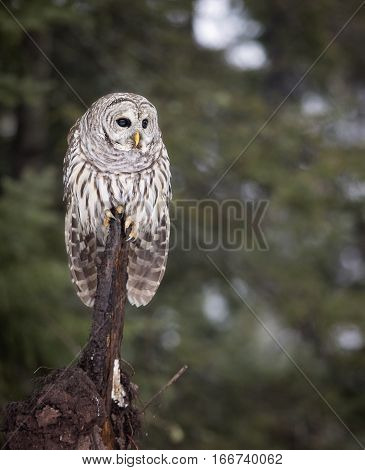 Close up image of a wild, Barred Owl, perched on a tree root branch.  Winter in Northern Wisconsin.