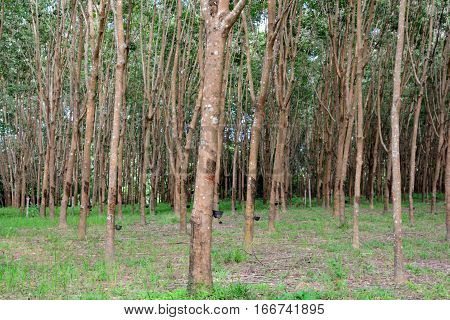 Row of para rubber tree in plantation Rubber tapping