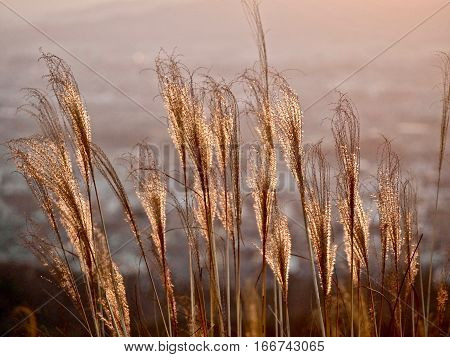 Glowing sunrise over ctiy and sparkling grass. Grass in low golden morning light . Sharp image correct composition deep warm colors. Nara. Japan.
