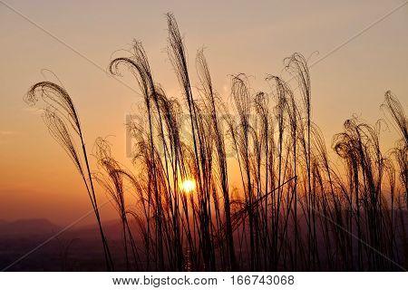 Grass in golden morning light . Sharp image correct composition deep warm colors. Nara. Japan.