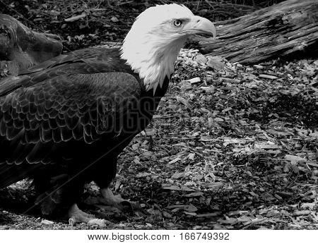 A close up of a majestic American Bald Eagle with a piercing eye sharp beak and talons and detailed feathers standing on the ground.