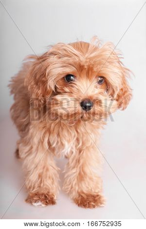 portrait shaggy puppy on a white background