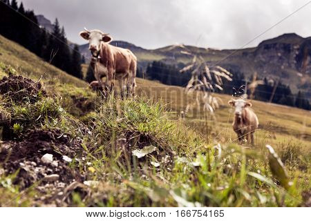 cows on an alpine pasture in austria. shallow dof, focus on grass in the foreground