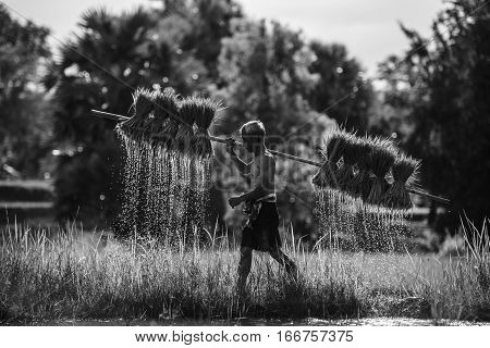 old farmer while trying carry his rice sapling old farmer work hard in rice field thailand old farmer work in farm land