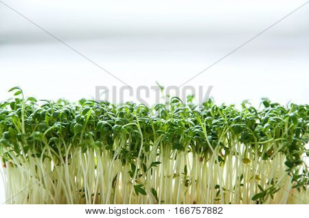 Watercress or kaiware sprout in a container