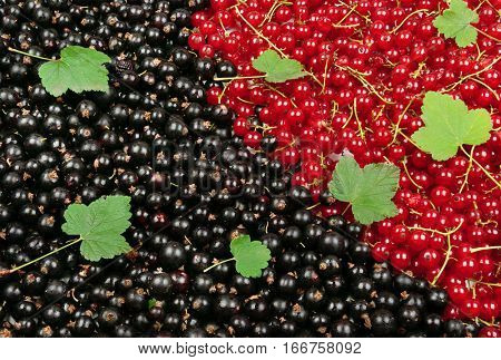 Black and red currant with green leaves. Fruit background.