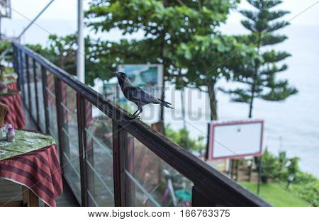 Crow At A Local Cafe On The Cliff In Varkala