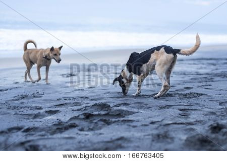 Dogs Playing On The Beach In Varkala