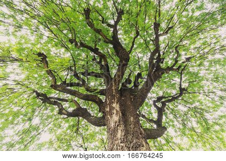 Up looking on big tamarind tree having wide expansion branches and fresh green leaves surround on top with bright sky as background.