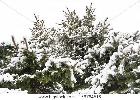 Close view of snow-covered spruce trees Spruces in winter isolated on white background