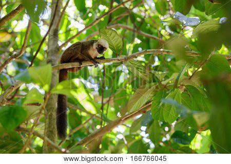 White-headed Lemur (eulemur Albifrons), Madagascar