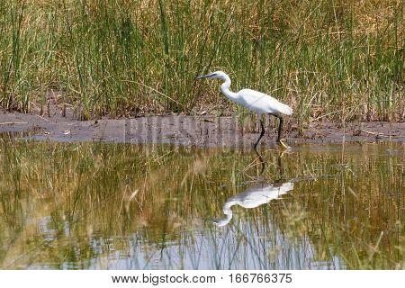Bird Great Egret, Okavango, Botswana, Africa