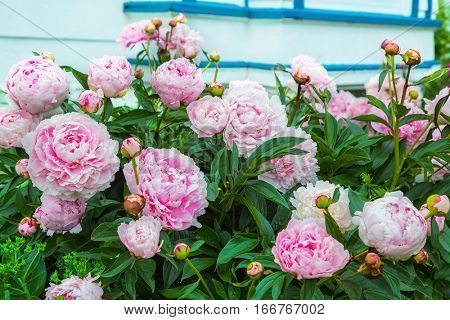 Pink peony (Paeonia officinalis) plants in bloom in the home garden.