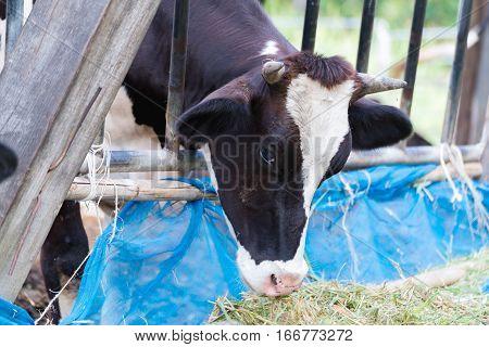 Cows In A Farm, Dairy Cows Eating In A Farm.