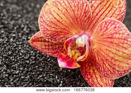 Beautiful orchid flower on black stones background