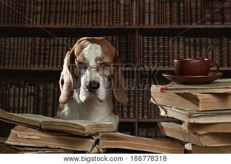 The Very Smart Dog Studying Old Books In Library