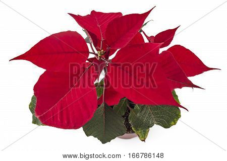 Poinsettia flower in flowerpot. Red christmas flower on white background