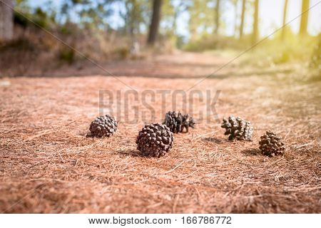 soft focus Pine cones in forest on the Pine cones leaf background