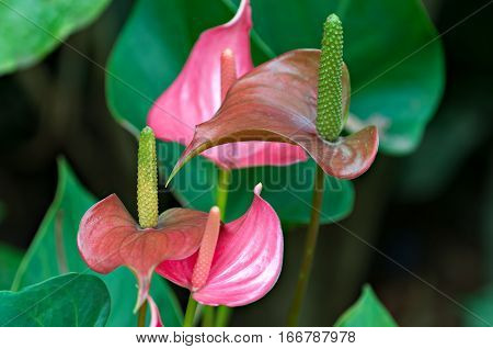 Pastel colored Anthurium lillies growing in a garden.