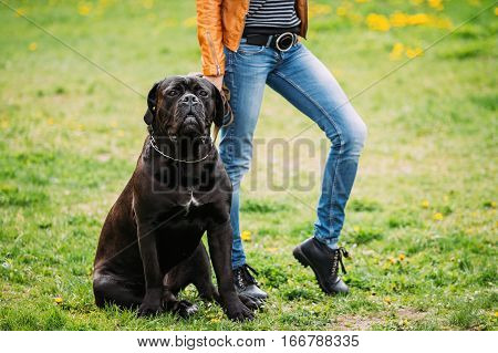 Black Young Cane Corso Dog Sit Near Owner On Green Grass Outdoors. Big Dog Breeds. Summer Season