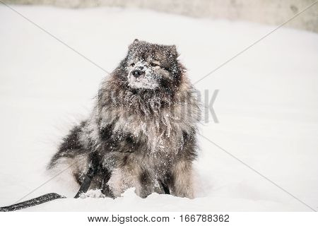 Funny Keeshond Dog Play Outdoor In Snow. Winter Season. Dog Training Outdoors.
